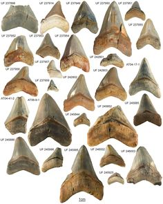 Some teeth of the megalodon were up to 18 cm long