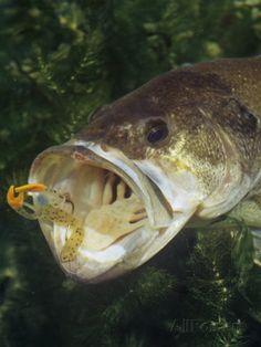 Largemouth bass - Google Search