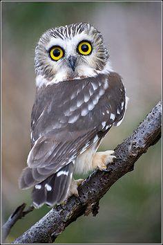 Owl (Saw-whet) by Earl Reinink