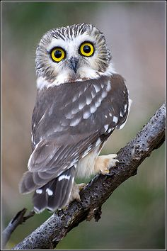 gray owl.