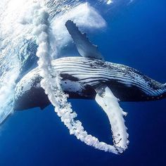 Whale trail 🐋 #Didyouknow Humpback whales are smart, as well as vocal! Each population communicates through its own dialect, and sings its own whale song. But, whales aren't born knowing how to sing. Each baby whale learns from other whales around them. Oddly enough, only the male whales sing. #oceanlove #ocean #oceanconservancy #oceans #saveourseas #saveourocean #saveourearth #oceanlover #oceanaddict #oceanviews #oceanvibes #discoverocean #oceanskeepers #saveocean #snorkeling #diving…