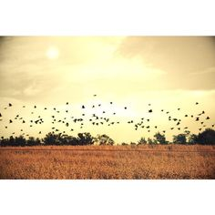 Golden Corn Field with Black Crows Landscape Photograph, Black Crows... (95 PLN) ❤ liked on Polyvore featuring home, home decor and wall art