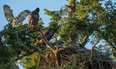 Eat, prey, love: bald eagles adopt baby hawk into their nest in Canada | World news | The Guardian