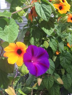 Blomman för dagen och Svartöga #MorningGlory #BlackEyedSusanVine