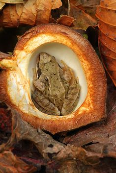 A juvenile wood frog hiding in an empty Horse Chestnut shell; photo by Simon Roy