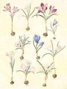 botanical print crocus