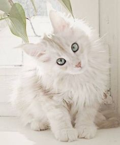 I've not seen many white Maine Coon kitties. I think she's stunning…