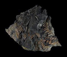 nybg: Fossil seed ferns (Alethopterissp.). 300m.y.o. St. Clair, PA. 185mm.