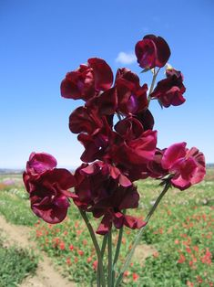 2017 - 'Beaujolais' sweet pea sold by Owl's Acre Seeds