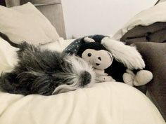Morita #LoveDogs #Schnauzer #Dogs