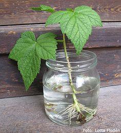 Permaculture, Planting Succulents, Diy And Crafts, Glass Vase, Diy Projects, Gardening, Outdoor, Skott, Garden Ideas