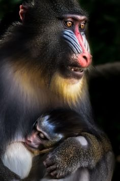 Mandrill with baby