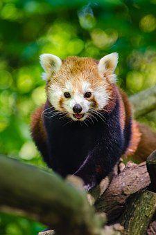 Tier, Zweig, Niedlich, Roter Panda