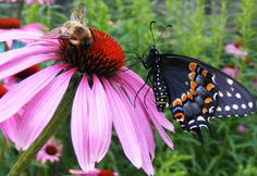 A black swallowtail butterfly shares a purple coneflower with a bee Woodland Fairy, Tall Plants, Purple Butterfly, Plant Nursery, Big Flowers, Native Plants, Nativity, Garden Design, Birds