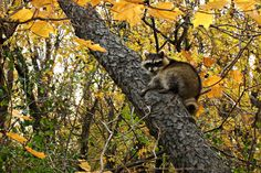 Raccoon sleeping in the Norway Maple trees during autumn at Morton Grove, Illinois Morton Grove, Forest Preserve, Classic Car Show, Carpet Installation, Paws And Claws, Maple Tree, Big Tree, Woodland Creatures, Autumn Trees