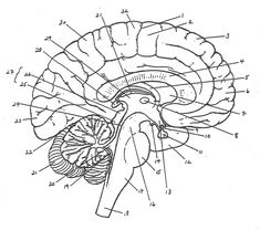 Color the cranial nerves and the human brain