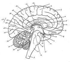labeled fetal pig brain sheep brain diagram scientificblank brain diagram blank brain diagram blank diagram of the brain anatomy body diagram