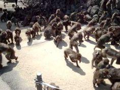 Hundreds of monkeys in a feeding frenzy