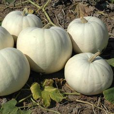 New Moon hybrid pumpkin seeds produce good yields of uniformly sized and shaped bright white fruits. $25.50/100 seeds