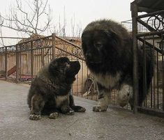 The traits we all adore about the Good-Natured Big Mastiff Dogs Giant Dog Breeds, Giant Dogs, Large Dog Breeds, Caucasian Dog, Caucasian Shepherd Dog, Alabai Dog, Pet Dogs, Pets, Weiner Dogs