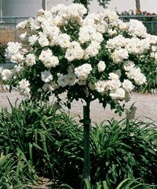 Iceberg Tree Rose - also comes in brilliant pink, but I can't find a picture. Tolerates up to 50% shade.