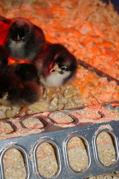 Are you raising chicks this year?  Read How to Prepare for Successful Chick Brooding - Part One -- Community Chickens