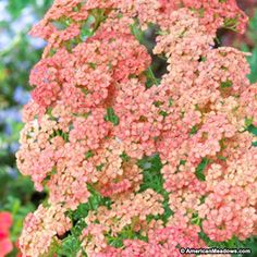 Orange Yarrow Peachy Seduction, Achillea millefolium, Yarrow
