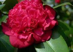 1 gallon,Camellia Professor Sargent, dazzling Scarlet Red double Blooms From Nov-may , (Hydrangeas Shrub, Evergreens, Gardenia , Hydrangea Plants Pixies Gardens http://www.amazon.com/dp/B00UCS01YK/ref=cm_sw_r_pi_dp_iaaewb1GB7M70