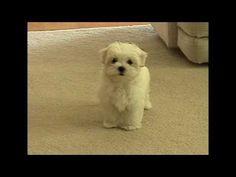 Cute Maltese puppy barking at camera Plainfield Illinois dancer PNHS Poms puppies dog Il