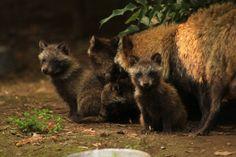Nace camada de perro mapache en el Zoológico de Chapultepec