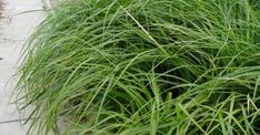 Carex foliosissima 'Irish Green'