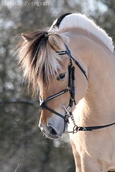 Norwegian Fjord horse. I love their beautiful mane! Adorable face!