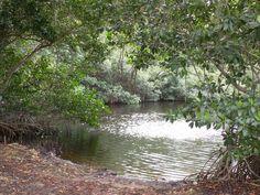 everglades | Description Mangrove trees in Everglades.JPG