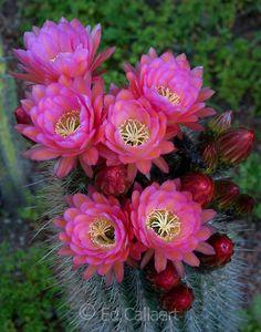 Cactus Flower, Cereus,Haageocereus pseudomelanostele, Fern Canyon, Mill Valley, CA