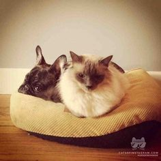 """From @_UNLIKELYFRIENDS_ : """"These are my 2 pets, Bailey is a male Balinese and Zoe is a female french bulldog. Ever since we brought Zoe home these two have been inseparable, this photo was taken a couple months back during one of their morning cuddling sessions."""" #catsofinstagram [catsofinstagram.com]"""