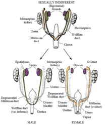 Genetics of gonad development. Androgen insensitivity syndrome - Wikipedia, the free encyclopedia