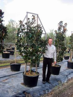 Espalier Magnolia Trees | magnolia little gem espalier 25 gallon magnolia grandiflora little gem