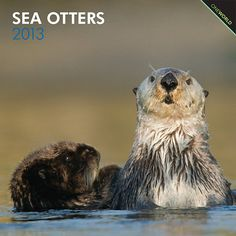 Sea Otters Wall Calendar: The frisky sea otter does its frolicking in the waters of the Pacific Ocean. Floating on its back with its head above water, the sea otter feasts on shellfish and then naps after a full meal. These endearing mammals wrap themselves in kelp to keep from drifting away from one another while they sleep.  http://www.calendars.com/Sea-Otters-2013-Wall-Calendar/Sea-Otters-2013-Wall-Calendar/prod201300004431/?categoryId=cat00345=cat290016