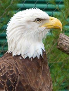 #BaldEagle #feathers #brown #detail