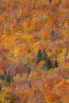 Peek-a-Boo Pines Pin It Credit: Anthony Aneese Totah Jr | Dreamstime.com The above photo, snapped during early October in Minnesota, captures colorful fall foliage along the side of a mountain, with several evergreen trees peeking through the saffron leaves.
