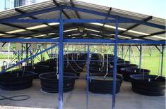 Tilapia Fish Farming, Prawn Farming, Aquaponics Fish, Aquaponics System, Hydroponics, Tropical Aquarium, Aquarium Fish, Fish Tank Design, Farm Business