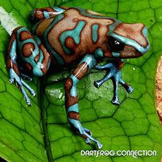 Dendrobates auratus--Highland Bronze  - Love these colors together...