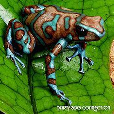 Highland Bronze poison dart frog