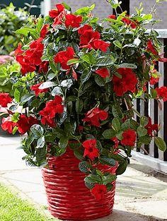 Mit igényel a tölcsérjázmin? Indoor Flowering Plants, Flowering Vines, Mandevilla Vine, Hanging Flower Baskets, Pink Plant, Outdoor Planters, Growing Tree, Geraniums, Red Flowers