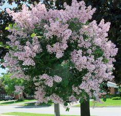 2011_0605+lilac+tree+038.jpg 1,600×1,534 pixels