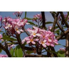 Pink Oleander flora Grand Cayman Cayman Islands British West Indies Canvas Art - Lisa S Engelbrecht DanitaDelimont (36 x 24)