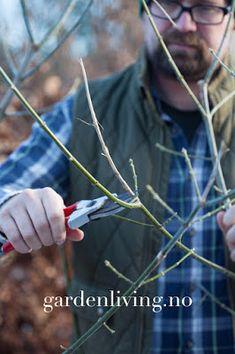 beskjæring busker trær tips utstyr saks hekk roser