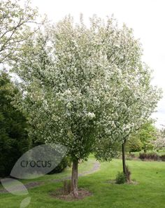 Malus Evereste - crab apple tree that we have chosen for our garden instead of the cherry