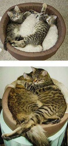deux chat tigrés dans panier