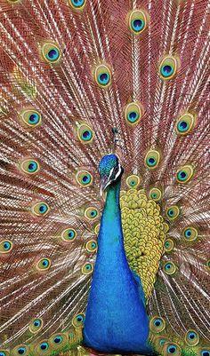 peacock mexico yucatan mexico by Fer Gregory via flickr